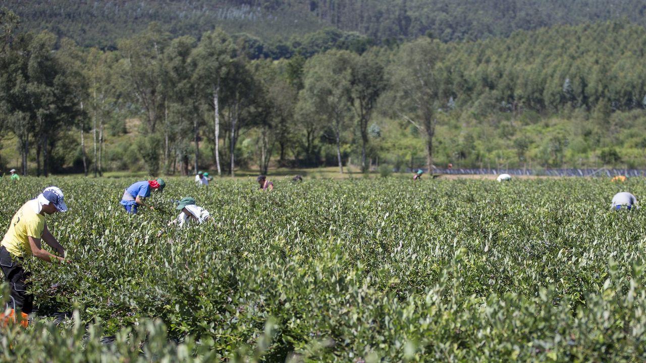 Plantación de arándanos en la comarca ferrolana