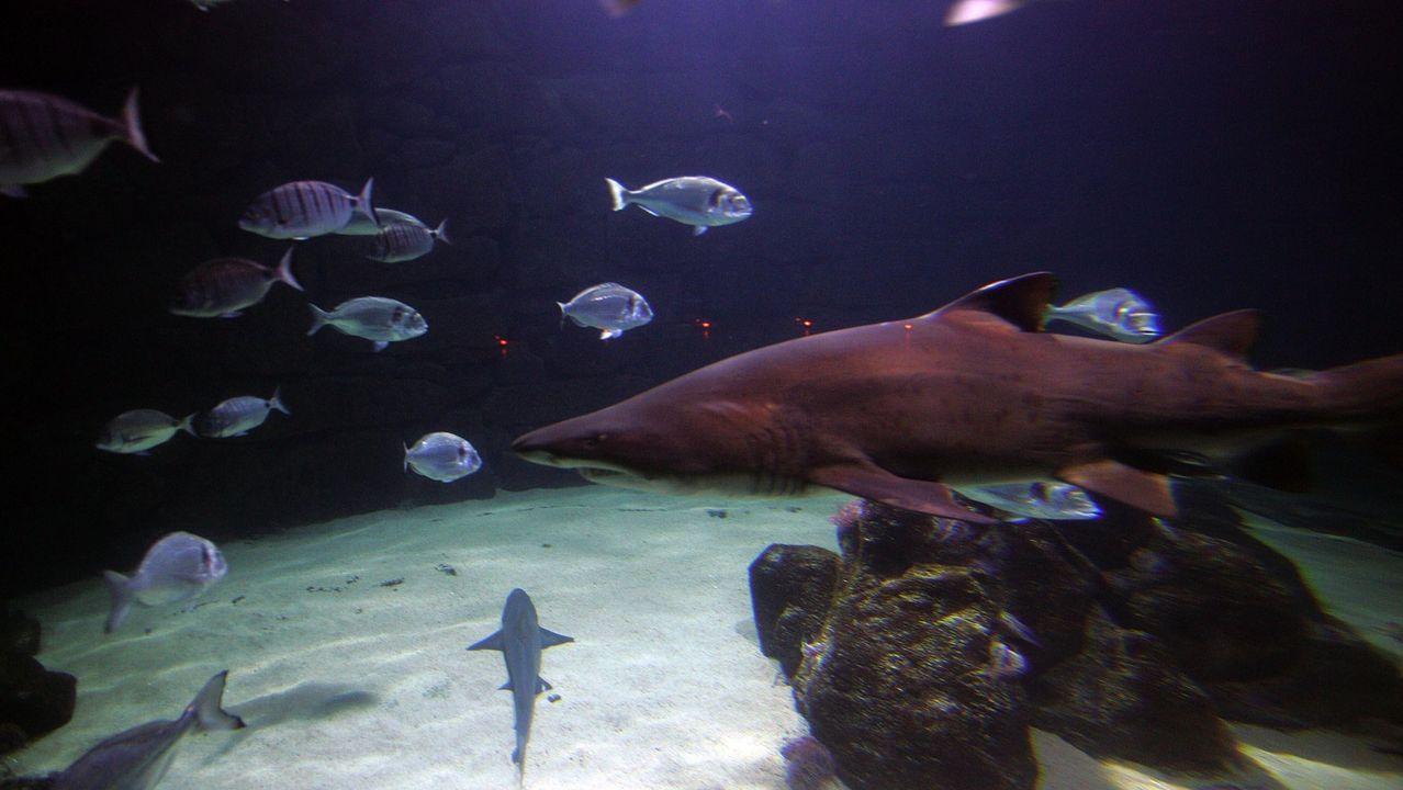 El Thor Heyerdahl, en Marina Coruña.Gastón, el tiburón toro que vive en la sala Nautilus
