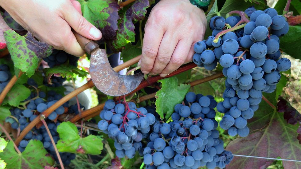 Merenzao.El merenzao, al que corresponde la foto de la izquierda, es la misma uva que el trousseau que se cultiva en los viñedos del Jura, al norte de Saboya. Está emparentado con la mencía y también parece descender del traminer