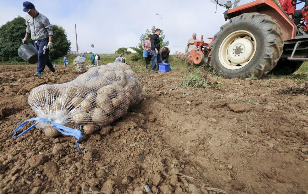 La patata de Carballo alcanzó 1,60 euros el kilo y las judías verdes, seis