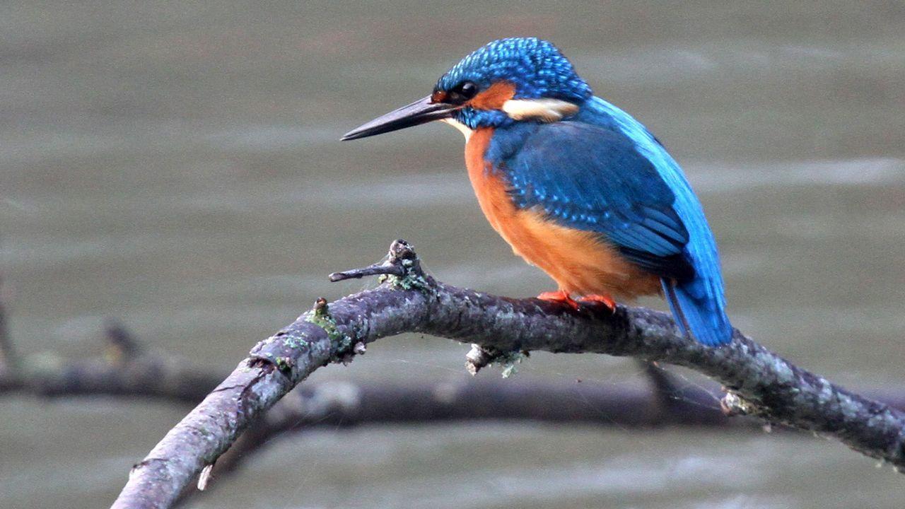 El martín pescador es una de las aves fluviales que viven en torno a la presa de A Pinguela