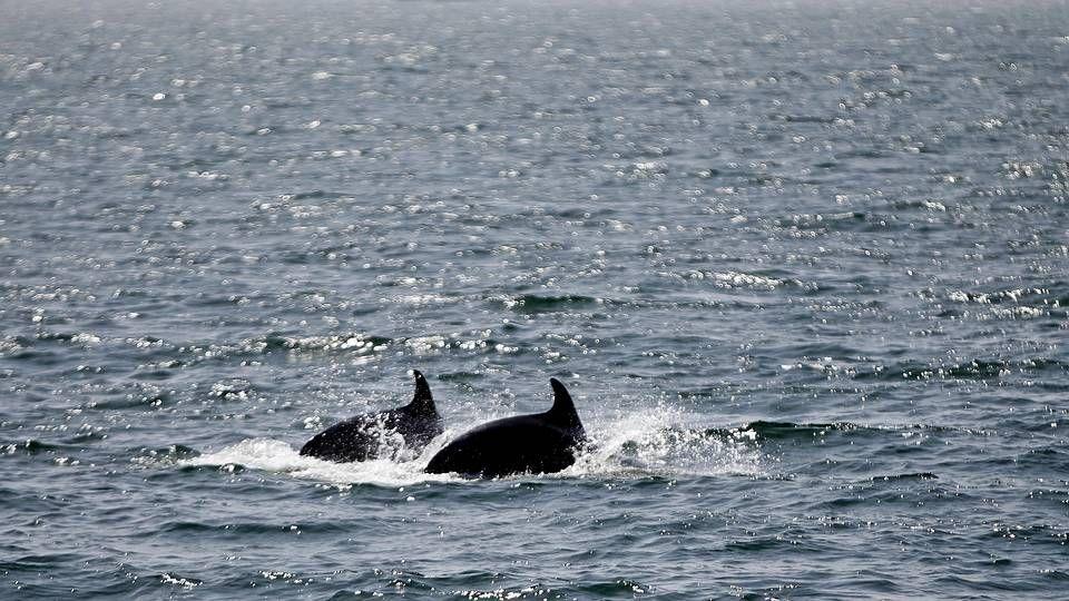 Vídeo de la protesta de la bajura en Burela.Delfines en el litoral gallego, en una imagen de archivo
