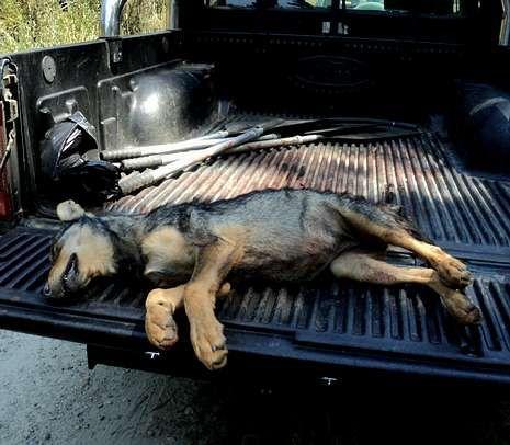 Por los animales, medio ambiente y justicia social.<span lang= es-es >Cachorro ibérico abatido</span>. Axena y Pacma difundieron esta foto para demostrar que un cachorro de ibérico fue tiroteado.