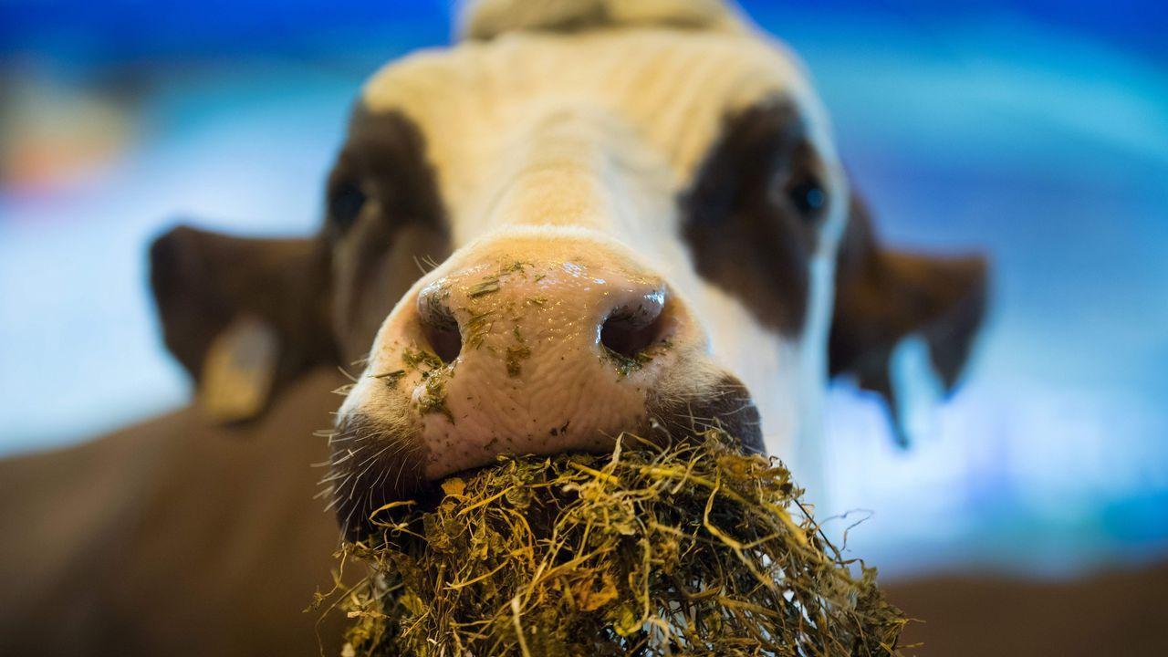 Una vaca se alimenta durante el Salón Internacional de la Agricultura que se celebra en París