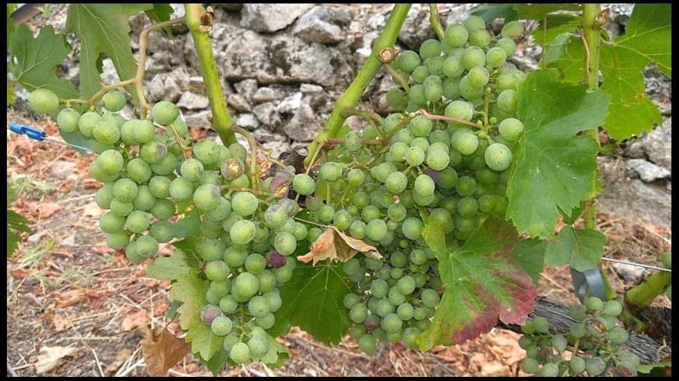 Uvas de la variedad mencía, todavía sin adquirir color, en un viñedo de la subzona de Amandi