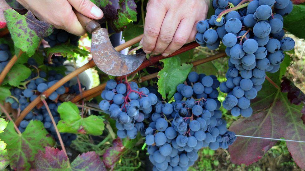 Uvas de la variedad merenzao, lauva tinta que madura antes