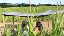 Pasear por un laberinto de maiz y terminar en una cantina, nueva propuesta de ocio verde en Teo