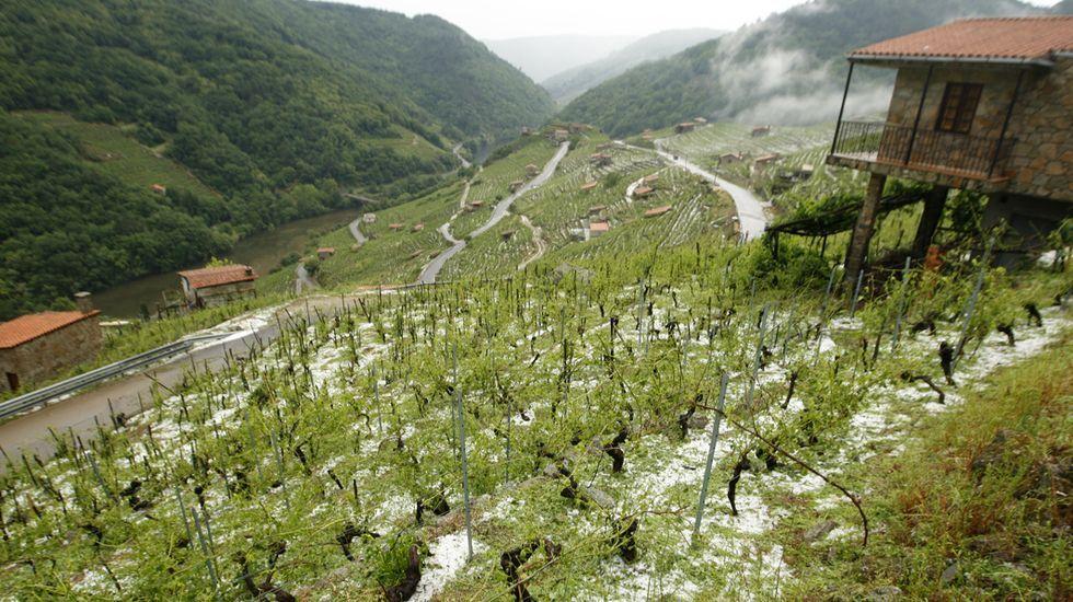 Las viñas de San Fiz, con el suelo blanco por el granizo el pasado día 16