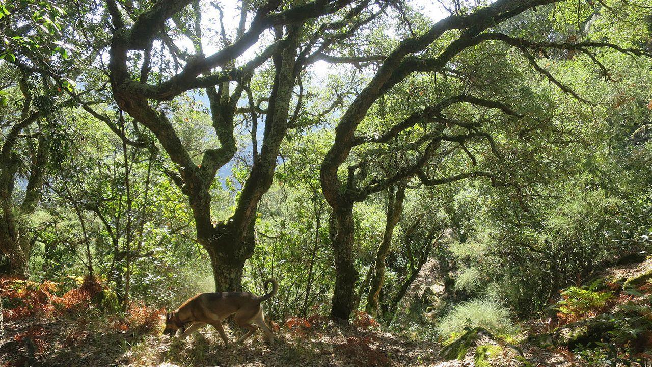 SOBREIRAL DO GRAÚLLO. Este bosque oculto al margen do Miño transcurre por el concello de Carballedo, en plena Ribeira Sacra