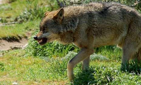 El lobo busca en Galicia hábitats formados por mosaicos vegetales para ocultarse del hombre.