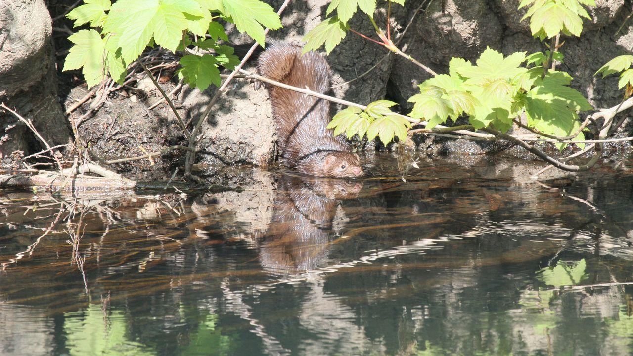 En el Cabe también están presentes algunas especies invasoras, como el visón americano