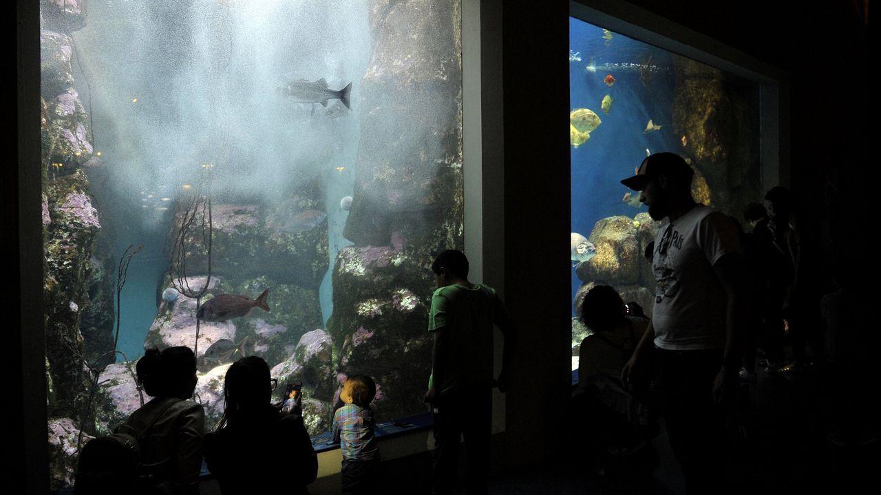 Uno de los bebés pulpo que pueden verse en el Aquarium Finisterrae, en A Coruña