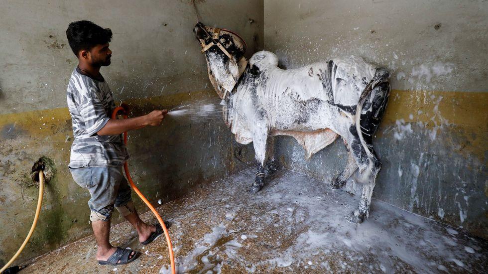 Un hombre paquistaní  limpiando un toro durante el festival musulman del sacrificio