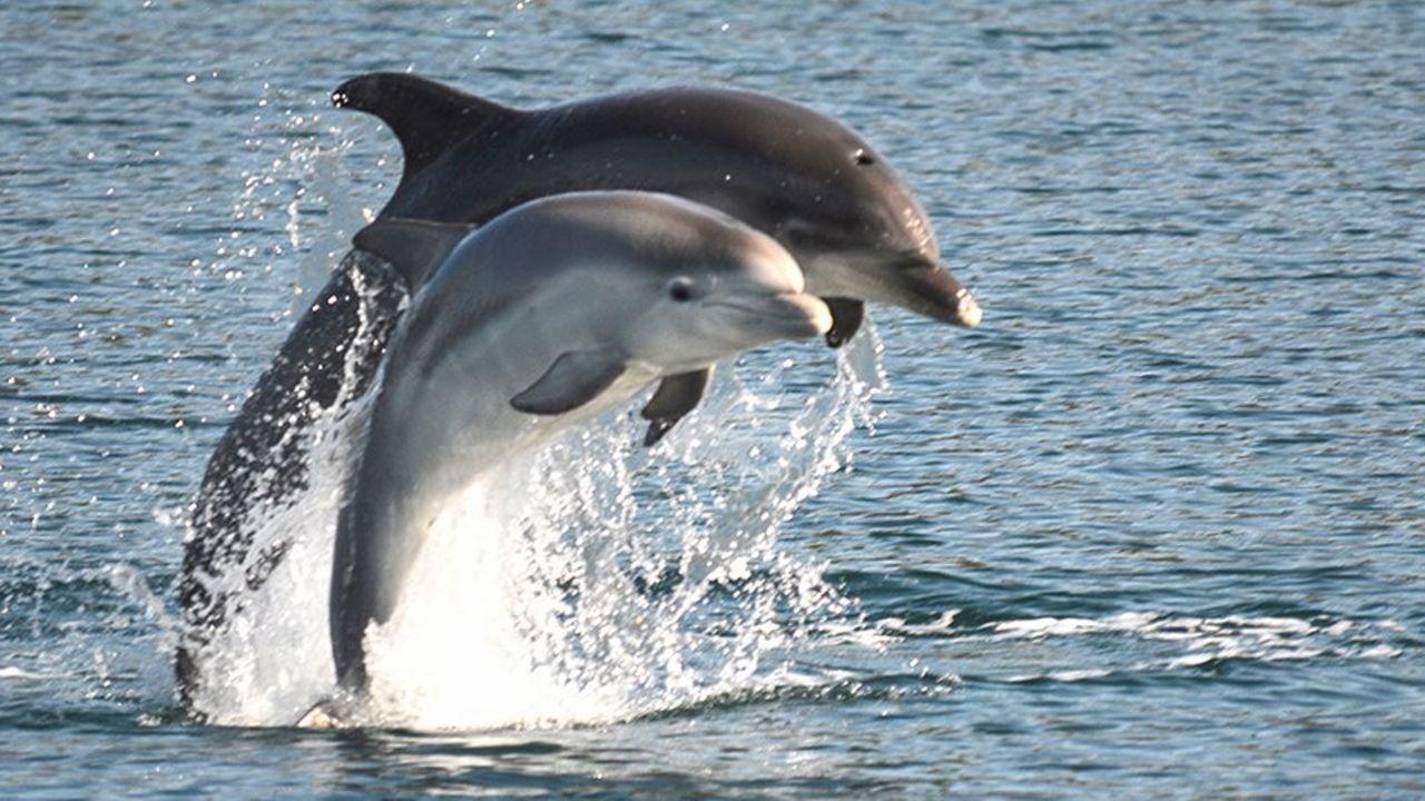 Una arroaz adulta, Leyre, con su cría, que fueron avistadas por el BDRI en la ría de Arousa