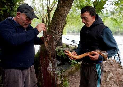 Antonio y su hijo levantaron el viernes dos lampreas en el cierre de campaña.