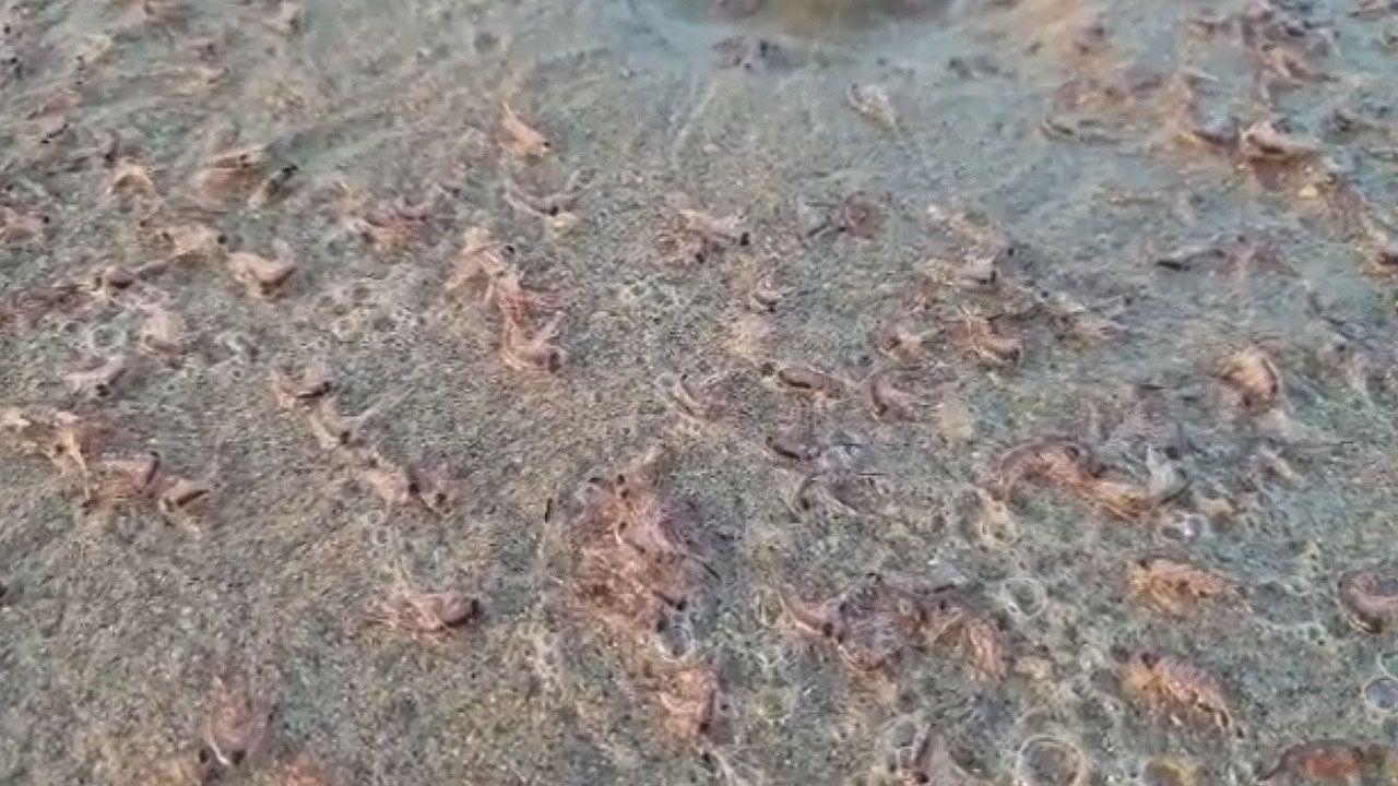 Millones de pequeños crustáceos que cubren las playas del occidente hasta Galicia.El alcalde de Siero, Ángel García.