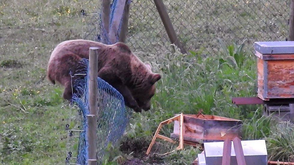 Un oso entrando en un colmenar de abejas