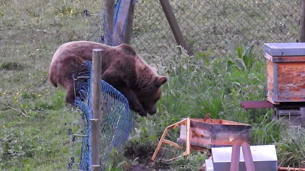 escuela infantil alumnos.Un oso entrando en un colmenar de abejas