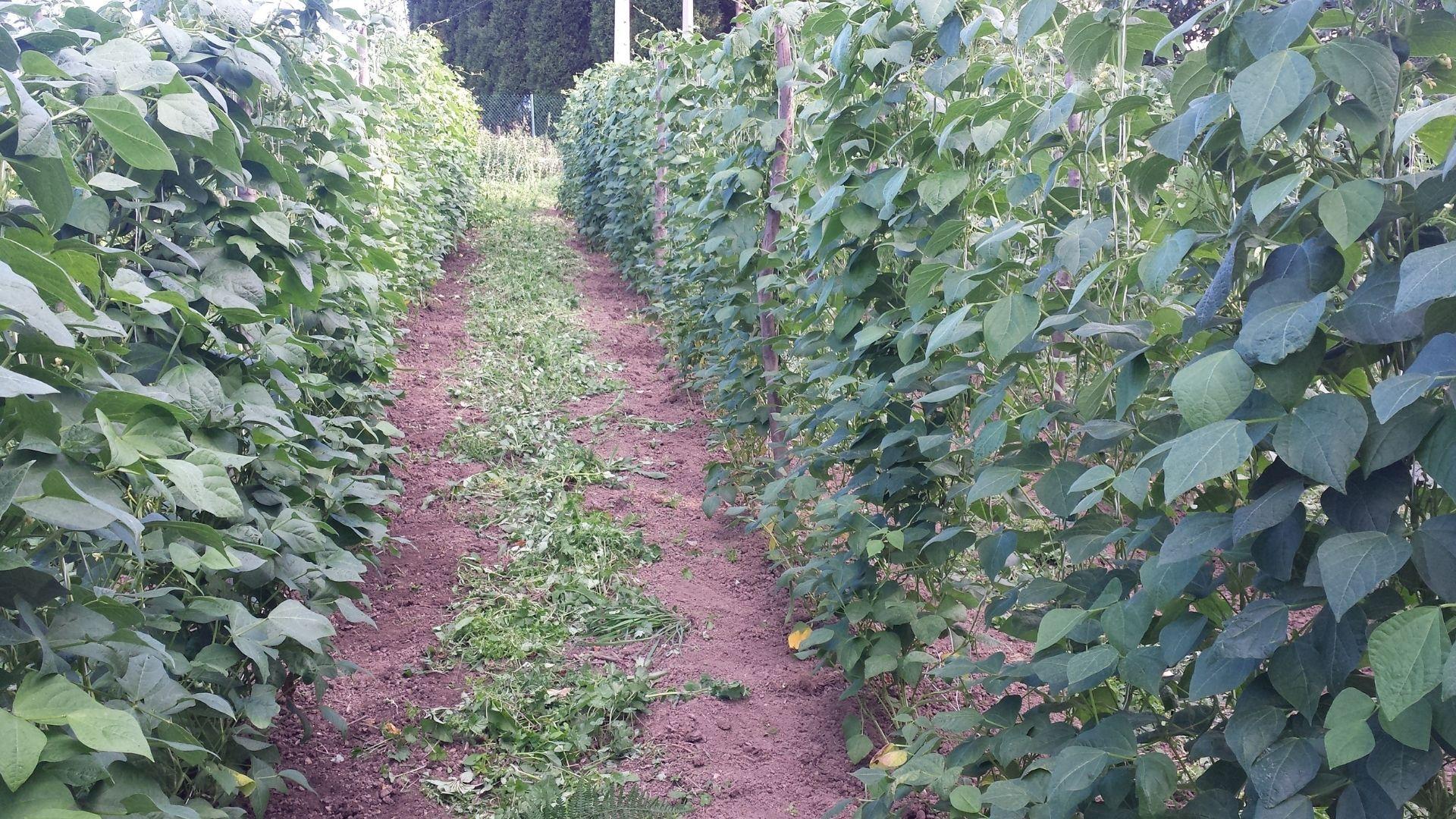 La plantación de faba ecológica El Texu