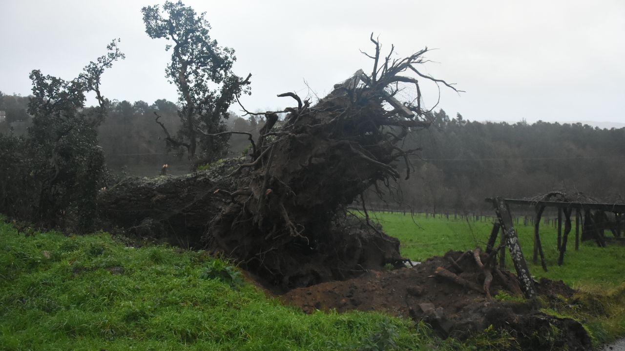 ¡Estas son las huellasde los temporales en Barbanza!.Caída de árbol en A Estrada