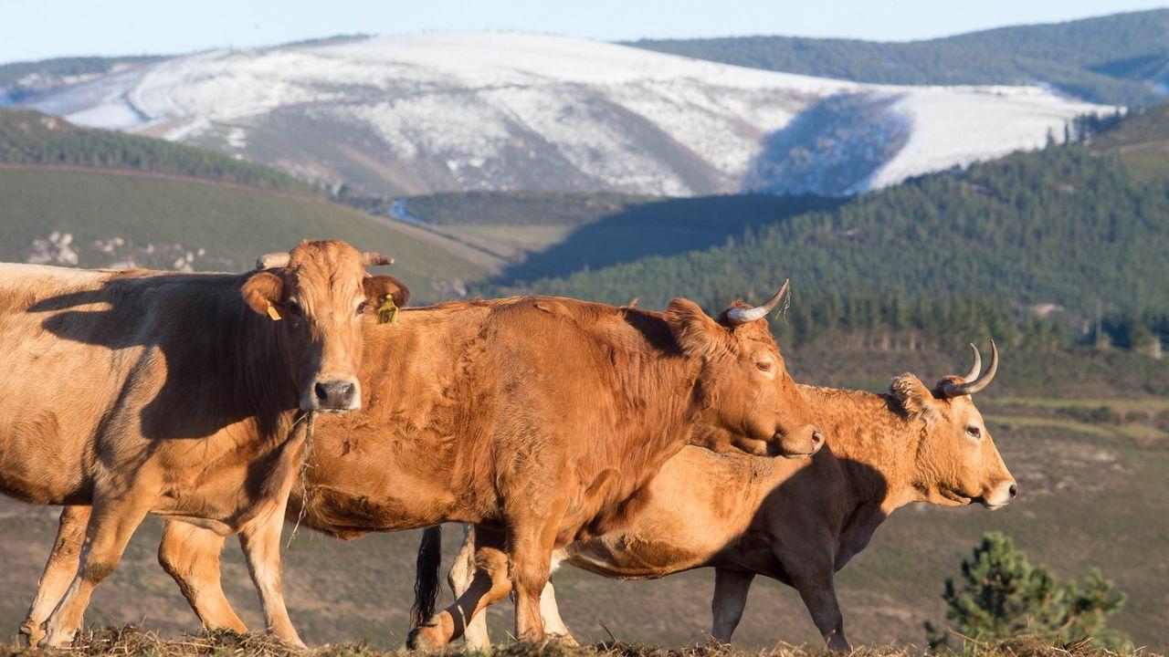 Máis de 250 vacas pacen nas fincas desta aldea ancaresa.