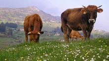 zona rural Oviedo parroquia San Claudio.Terneras pastando en Niévares, con el Naranco de fondo