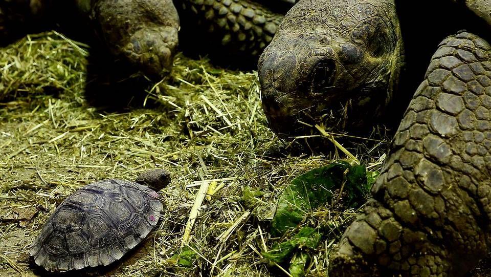 Jesús Iglesias, candidato de Izquierda Unida a la presidencia del Principado..Una joven tortuga gigante de Galapagos en el zoo de Zurich