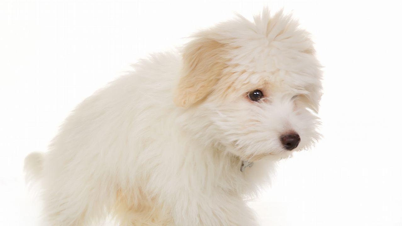 Imagen de archivo de un perro de la misma raza que Cachas