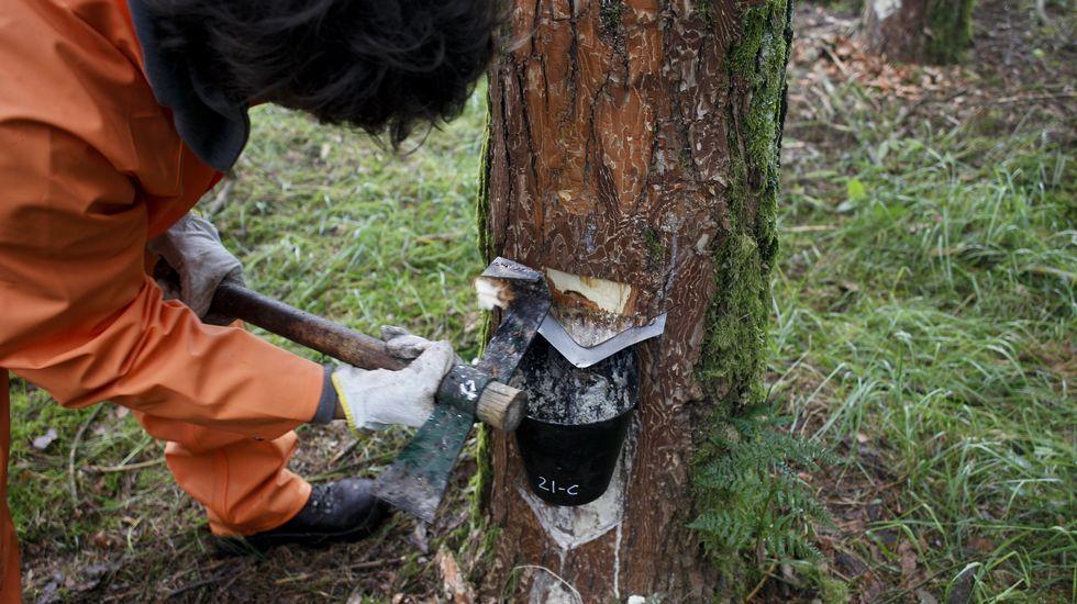 Resineros en los pinares de Castroverde