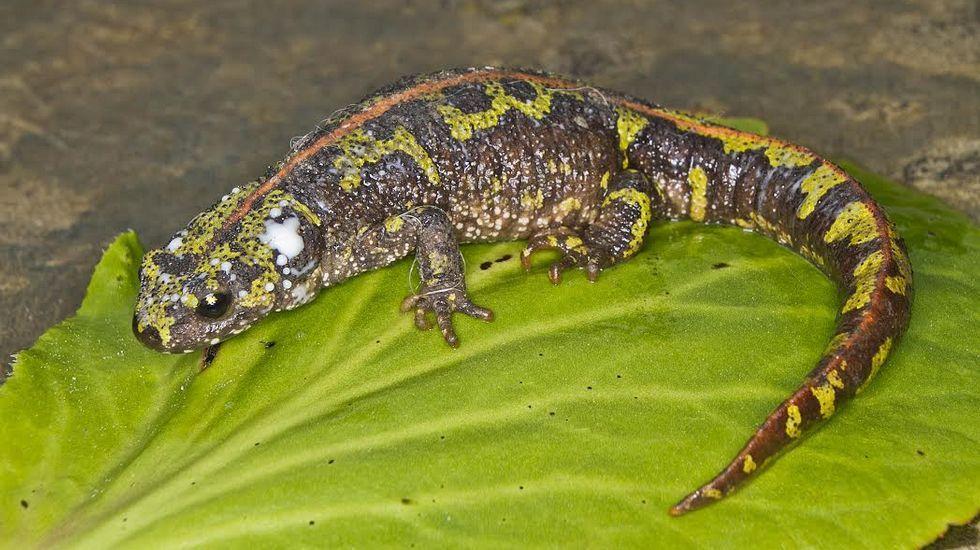 El llamativo tritón jaspeado (Triturus marmoratus) es uno de los habitantes de las márgenes del Cabe