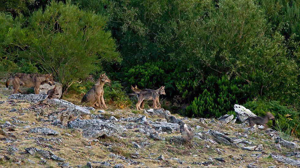 Una manada de lobos.Una manada de lobos