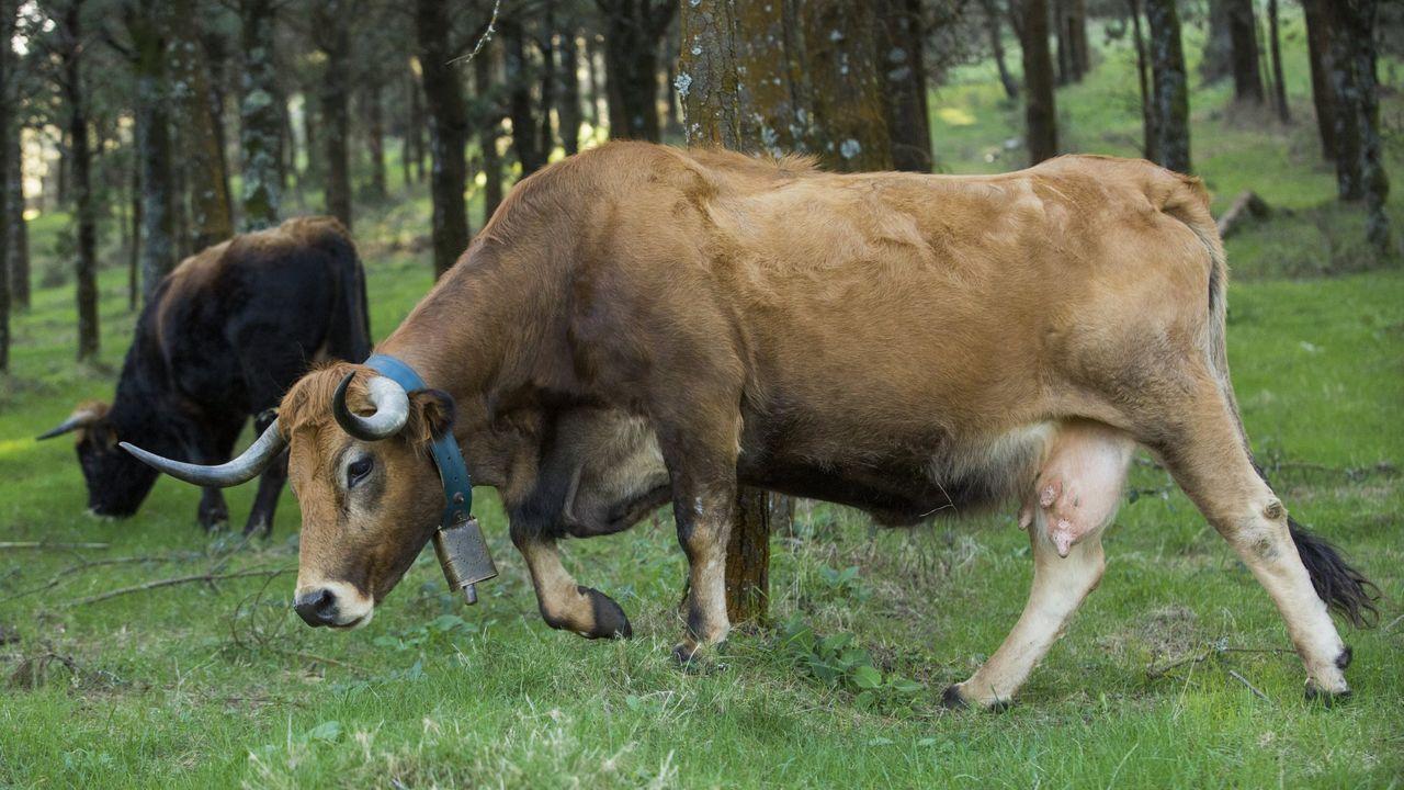 Los cencerros son usados para reconocer cada animal, además de saber por dónde avanza el rebaño