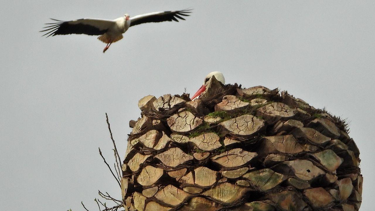 Pelea de cigüeñas por una palmera.Pese a que el tiempo no acompañó, la villa consiguió llenarse a medida que avanzó la tarde