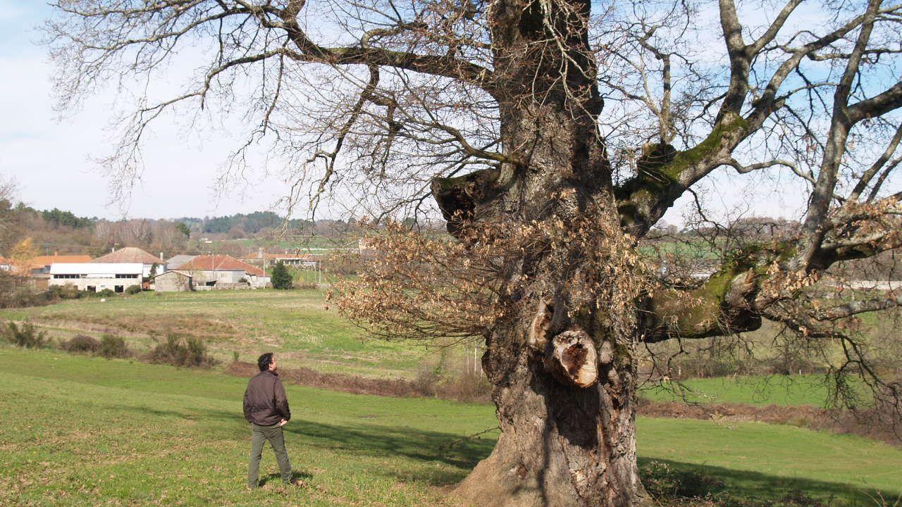 O carballo senlleiro de Pousada de Mariz amosa en inverno o xeito libre e sinuoso de medrar das súas pólas