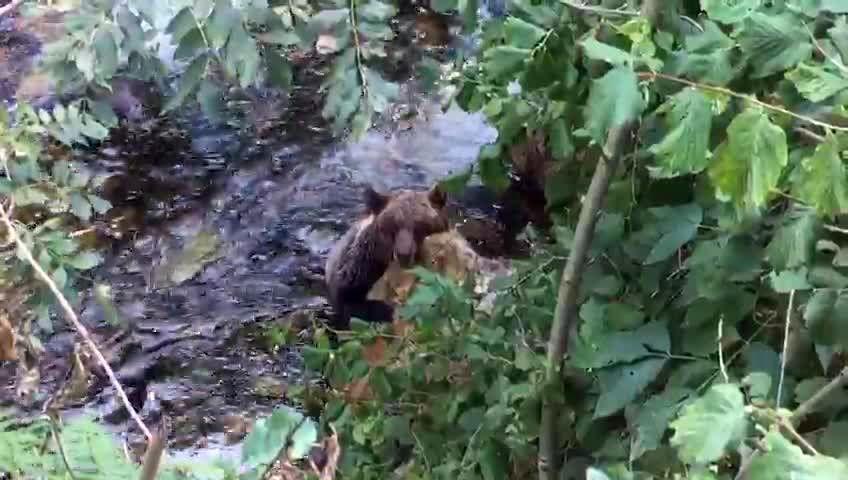 Investigan a dos vecinos con intereses en el monte que ardió en Mondariz.La osa de proaza fue encontrada agonizando en el río