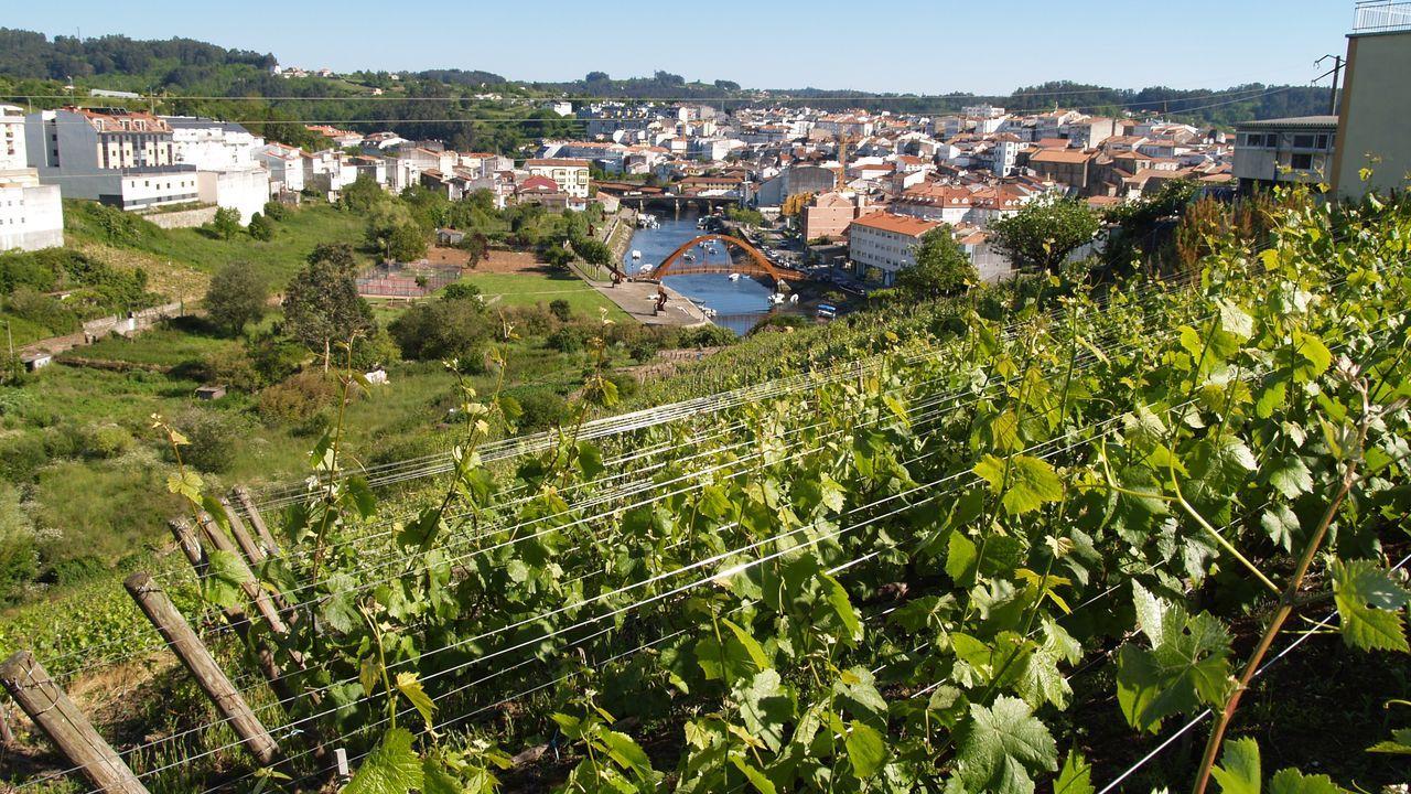 Imagen de algunos de los viñedos de Adega Bescansa en Betanzos