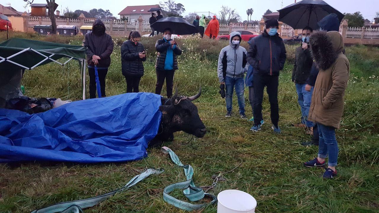 Una movilización vecinal salva a una vaca.Reparto de mascarillas sanitarias, adquiridas por el Ayuntamiento, por parte de voluntarios de la agrupación de protección civil