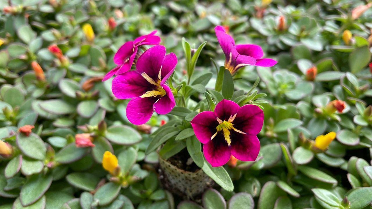 Esqueje de Petunia calibrachoa, en los viveros Vivergal, en Santa Mariña do Monte, San Sadurniño