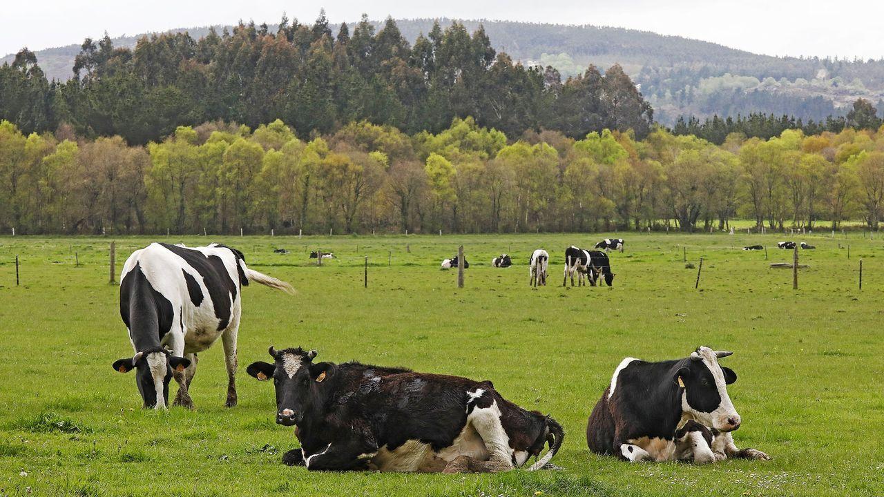 Vacas frisonas en un prado del concello lucense de Guitiriz
