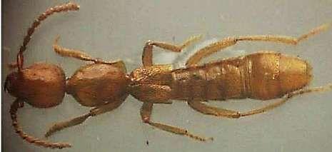 <span lang= es-es >Un tenebriónido y un estafilínido</span>. Con una caja de insectos en los brazos, el entomólogo coruñés Javier Pérez Valcárcel, y debajo, su Eumicrositus. Arriba, el estafilínido Domene (Lathromene) barraganensis y su descubridor, el profesor pontevedrés Raimundo Outerelo.
