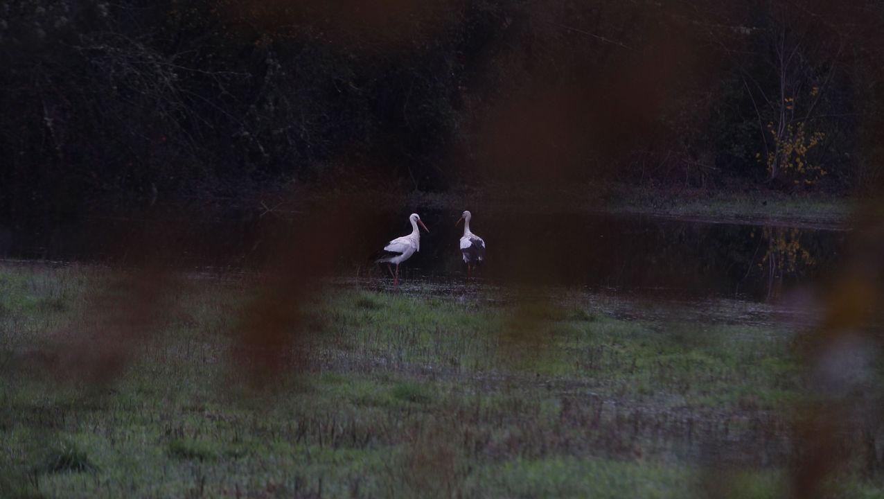 Una pareja de cigüeñas junto a una charca formada por los recientes temporales en Monforte