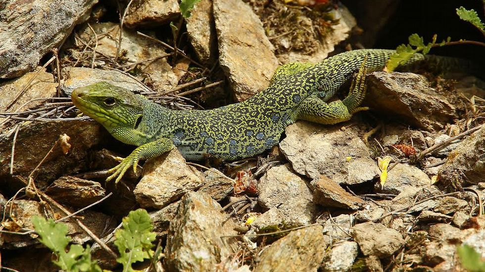 El lagarto ocelado es uno de los animales que se pueden ver en el entorno del río