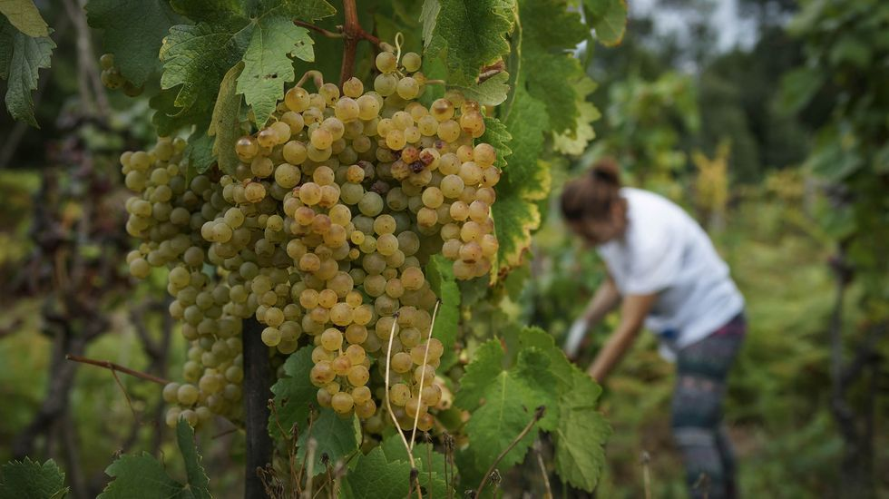 La acreditación ENAC certifica, entre otras cosas, que no se recoge más uva por hectárea de la que está permitida