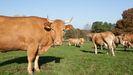La ganadería, tanto de leche como de carne, está muy presente en Friol y explica proyectos como el de permutas de fincas