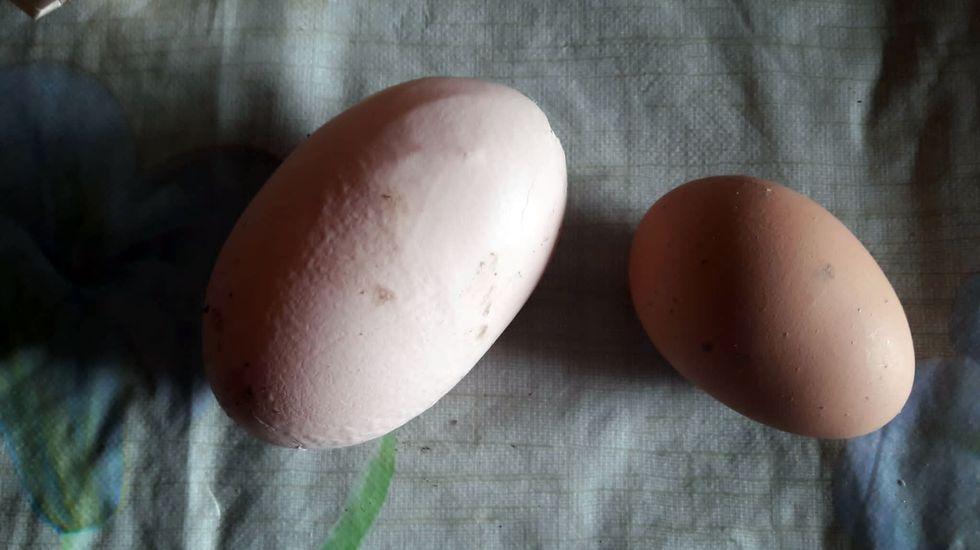 Uno de los huevos «gigantes», al lado de otro de tamaño normal