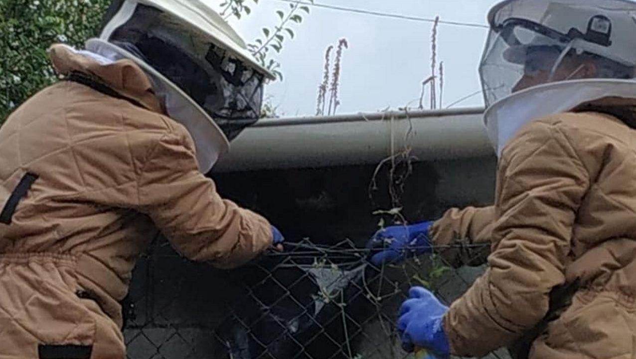 Los bomberos del parque de Boiro fueron los encargados de retirar el nido de velutinas que protagonizaron el ataque a un vecino de Rianxo