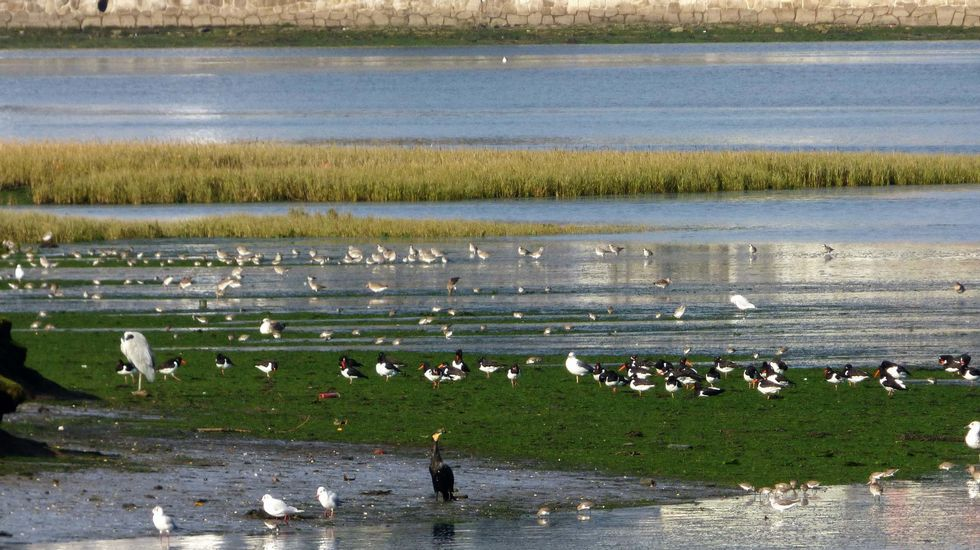 Aves en la ría de O Burgo