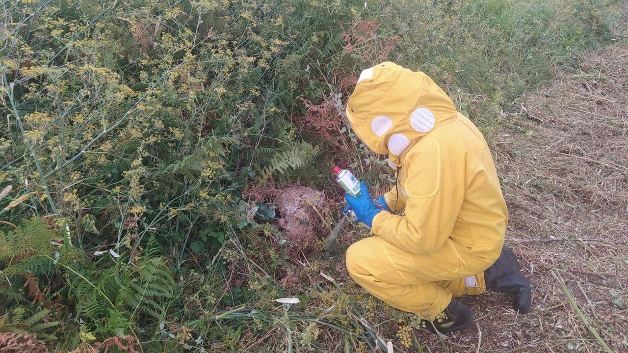 El nido secundario de avispa velutina que tuvieron que retirar los bomberos en Careses