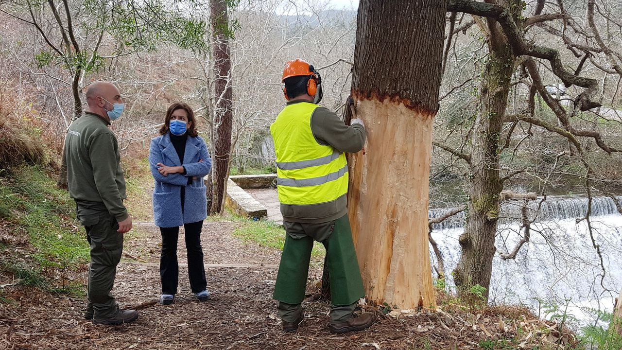 Sigue el cribadopara los trabajadores de Burela.Eliminando la corteza de los ejemplares de mayor tamaño de «Acacia melanoxylon».
