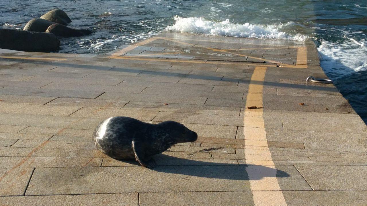 Rescatan un cachorro de foca gris ocelada en Burela